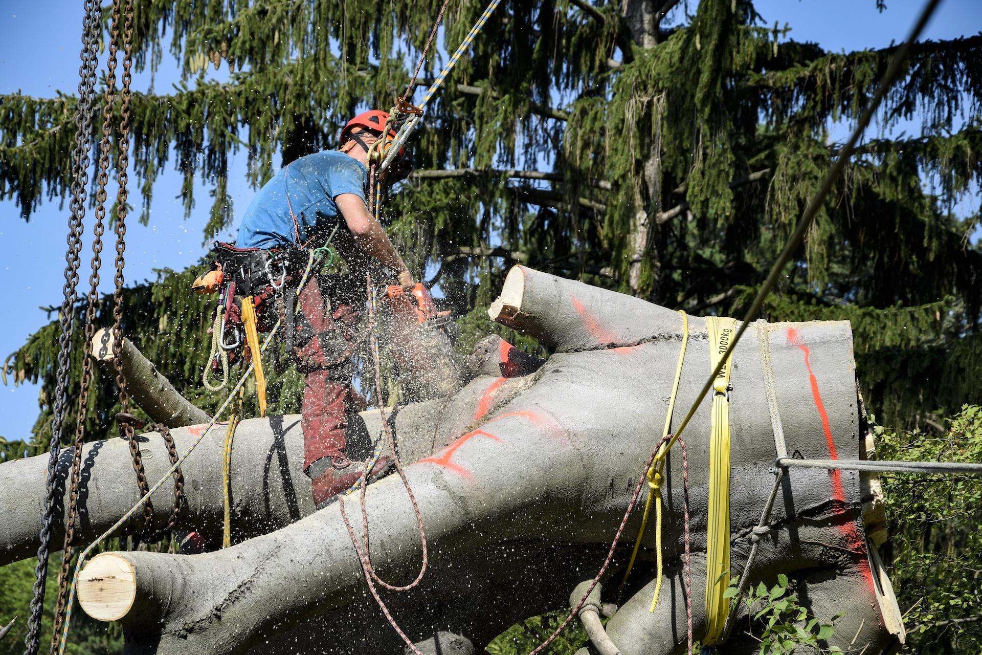 baumabtragung baumrodung großbaum klissenbauer